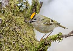JWL3313  Goldcrest...... (jefflack Wildlife&Nature) Tags: nature birds countryside woodlands wildlife avian warbler goldcrest songbirds gardenbirds wildbirds warblers