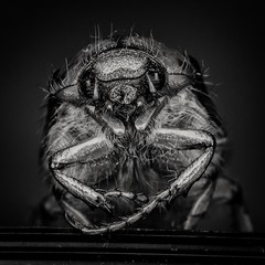 say hello to my little friend...III (Zesk MF) Tags: portrait hairy white black macro animal monster bug dark insect nikon close flash small sigma beast nah weiss schwarz kfer 105mm maikfer zesk roundflash