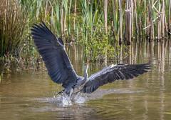Heron-1-2 (worlknut) Tags: heron canon grey flash flight pennington bif 7dmkii