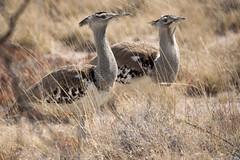 Kori Bustard (wietsej) Tags: bird reflex minolta sony 500 namibia kori etosha bustard a700