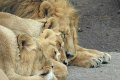Have a relaxing long weekend :-) (fxdx, off for holiday :-)) Tags: animal sleep lion