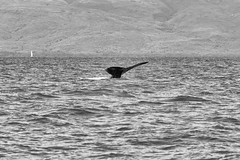 Humpback Whale Dive - BW (rschnaible) Tags: ocean life sea wild bw usa white black water animal photography hawaii us pacific outdoor wildlife tail diving monotone maui whale humpback