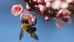 Hanging on to Spring (ken.krach (kjkmep)) Tags: bee