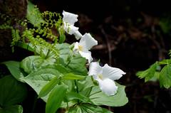 IMGP0100 (fidmar) Tags: park white mississippi trillium state trail palisades sentinel