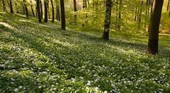 white dots (w-venne) Tags: wood green forest landscape buchenwald spring pflanze grn blte landschaft bume sonnenaufgang beech frhling beechwood alliumursinum brlauch frhblher hellegrundsberg