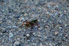 Scrambling over the parking lot (radargeek) Tags: insect florida everglades grasshopper fl alligatoralley