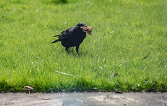 Crow with sandwich (AO'D) Tags: cambridge bird nature canon bread 5d crow f56 400mm mkiii