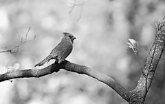 Mrs. Cardinal in the backyard bokeh ~ HMBT! (karma (Karen)) Tags: bw home monochrome birds backyard dof bokeh maryland baltimore cardinals hmbt