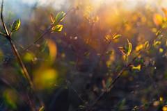 Multiple Nature 331 (pni) Tags: park light sunset suomi finland leaf helsinki bush dof bokeh multipleexposure helsingfors tripleexposure multiexposure skrubu pni pekkanikrus