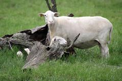 026 with single (baalands) Tags: hair sheep single lamb katahdin ewe