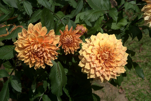 Golden-Orange Chrysanthemum Flowers