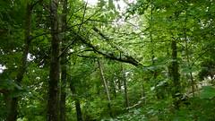 DSCN1434 (VerlynC) Tags: tree falling hickory