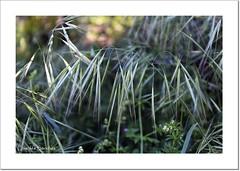 Avena (Lourdes S.C.) Tags: naturaleza plantas cereales vegetal avena