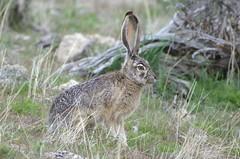 Black-tailed Jackrabbit (Lepus californicus)DDZ_3904 (NDomer73) Tags: rabbit mammal april sheldon jackrabbit 2016 blacktailedjackrabbit sheldonnationalwildliferefuge sheldonnwr 29april2016