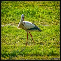 busy stork in the fields (P.Hcherl) Tags: bird animal nikon tamron stork tier vogel weiden storch 2016 d5300 tamron16300mmf3563diiinafvcpzdmacro