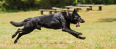 2016-05-22, IPO Training-26 (Falon167) Tags: dog shepherd german miles gsd germanshepherddog
