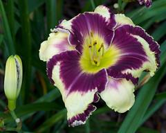 Hemerocallis 'Glamoureyez' (Eric Hunt.) Tags: purple burgundy cream daylily hemerocallis xanthorrhoeaceae