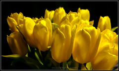 tulips (Fay2603) Tags: flowers light plants plant flower green nature leaves yellow licht blossom natur pflanze samsung blumen indoor gelb frame tulip buds grn blume blte bltter bltenbltter rahmen tulpen bilderrahmen heiter