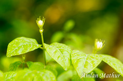 Growing (Amlan Mathur) Tags: asia beautiful blossom bokeh bud cool day depthoffield enviornment expand green growth helios india leaves life macro nature new photosynthesis plants shot spring survive takeroot vintage