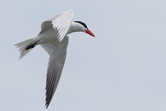 DUD_3851r (crobart) Tags: lake ontario bird birds port caspian erie tern dover