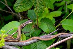 Ribbon Snake (dbifulco) Tags: newjersey reptile ribbonsnake nkion cloudyeyes kittatinnyvalleystatepark kvsp