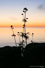Summer See (Pierre Pocs) Tags: blomma frg hav sommar vttern sj