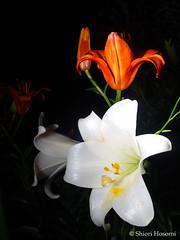 Lilium (Shiori Hosomi) Tags: flowers plants june japan night tokyo nocturnal nightshot  lilium   liliaceae  2016  liliales    noctuary  flowersinthenight noctivagant  23