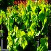 Μουρια DSC01371 (omirou56) Tags: 11 μουρια δεντρο ελλαδα πρασινο sonydscwx500 green greece tree
