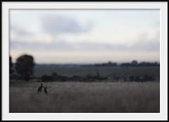 boxing (Andrew C Wallace) Tags: morning playing lensbaby bokeh joey australia victoria mob kangaroo boxing fighting growingup grasslands shallowdof tiltshift m43 campbellfield nikon50mmf14 microfourthirds tilttransformer olympusomdem5