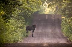 Road Bull (TofteTom) Tags: nature minnesota wildlife moose northshore northwoods wildlifephotography alcesalces minnesotamoose