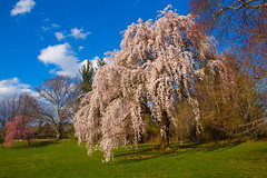 Just a Happy Day (SunnyDazzled) Tags: weepingcherry tree cherry blossoms flowers blooms sunshine bluesky green lawn nature gardens landscaping skylands castle mansion botanical garden pretty spring
