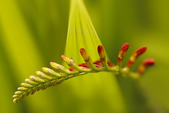 Grabbing some Rays (charhedman - off for a couple of days) Tags: flower macro green leaves rays bud crocosmialucifer