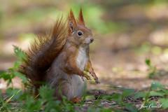 Red Squirrel Spring 2016 (Jan Canck) Tags: trees nature animals forest nikon squirrel wildlife ngc npc czechrepublic cz mammals rodents redsquirrel d810 mladboleslav squirrelspring veverkybest centralbohemiaregion nikon200500f56 veverkybest2016