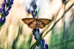 into my lavenders (safran83) Tags: macro butterfly lavender papillon m42 lavande mir 1b