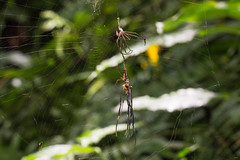 IMG_7636 molting spider Nephila pilipes (vlee1009) Tags: spiders july mating    molting  2016