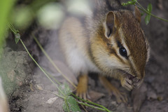 Chipmunk (Rcri) Tags: wild nature animal canon eos natura squirrell chipmunk animale scoiattolo 550d roditore