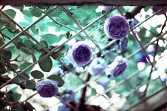 film (La fille renne) Tags: flowers roses film analog 35mm lomography bokeh turquoise canonae1program 50mmf18 lomochrome lafillerenne lomochrometurquoise lomochrometurquoisexr100400