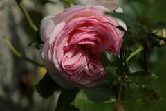 A walk in the garden (RoBatEye) Tags: flowers roses summer garden pierrederonsard