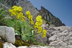 Primula auricula (AIIex) Tags: mountain flower macro nikon wideangle fiore d90 laowa