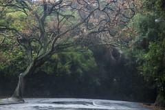 Winter tree (Ian@NZFlickr) Tags: road winter tree rain drive town belt queens nz otago dunedin gloom olveston