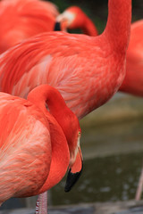 IMG_0780 (MUMU.09) Tags: macro bird rose photo foto flamingo aves ave bild fugl oiseau flaming flamenco  vogel imagem  uccello  ku chim ptak fgel   flamant     fenicottero  madr    an      plamek  hng      canoneos550d canoneosrebelt2i tkklistar  hac