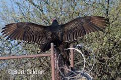 Vultures-1