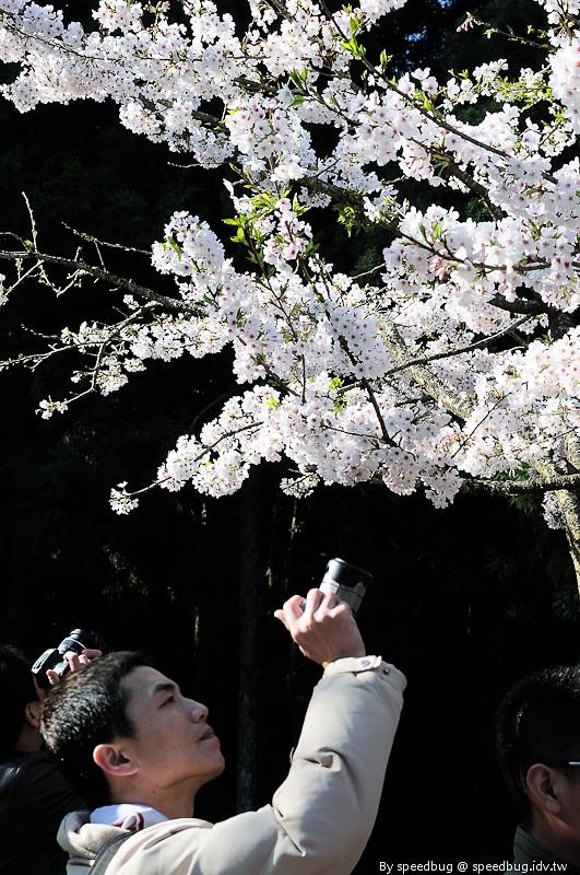 阿里山櫻花季57