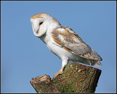 beautiful barn owl.... (Paul_ McMullen) Tags: barn owl