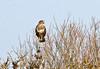 Let us Prey. (Mr Grimesdale) Tags: buzzard birdsofprey britishbirds stevewallace mrgrimesdale