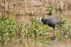folaga (taronik) Tags: natura uccelli acqua animali folaga cacciafotografica blinkagain allofnatureswildlifelevel1