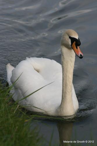 Male Swan 1