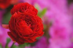 Red Meets Pink (Angela M. Miller (on a long, long break)) Tags: flores flower fleur bulb spring southcarolina blumen a33 ranunculus fiori ranunculaceae slt tamron90mm tubers littlefrog sonyalpha sonya33 sonyslt