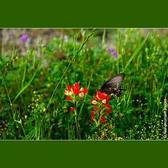 Morning At Wildflower Field (HoangHuyManh images) Tags: niceshot indianpaintbrush musictomyeyes redgroup flickrgoldaward platinumheartaward flicksilveraward doublyniceshot mygearandme hoanghuymanhimages ringexcellence theelitephotographerlevel1 chariotsofartistslevel1 0eliteclub 1eliteclub 2eliteclub 3eliteclub butterflywildflower thelooklevel1red thelooklevel2yellow
