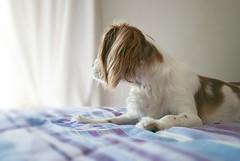 (MartaZ*) Tags: light dog love beautiful cane puppy king sweet cavalier amore cucciolo cavalierking